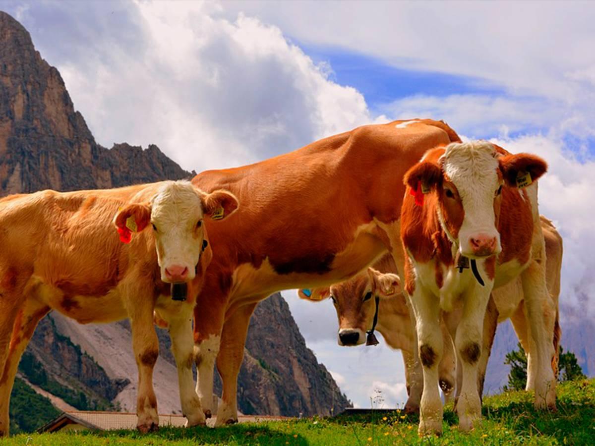 Злокачественный отёк у коров - болезни коров