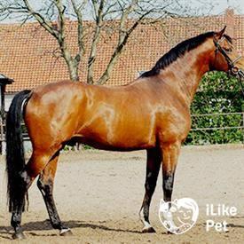 Тракененская порода лошадей.история и фото породы | мои лошадки