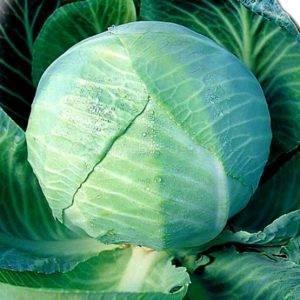 Белокочанная капуста каменная голова: преимущества сорта, особенности выращивания - огород   описание, советы, отзывы, фото и видео