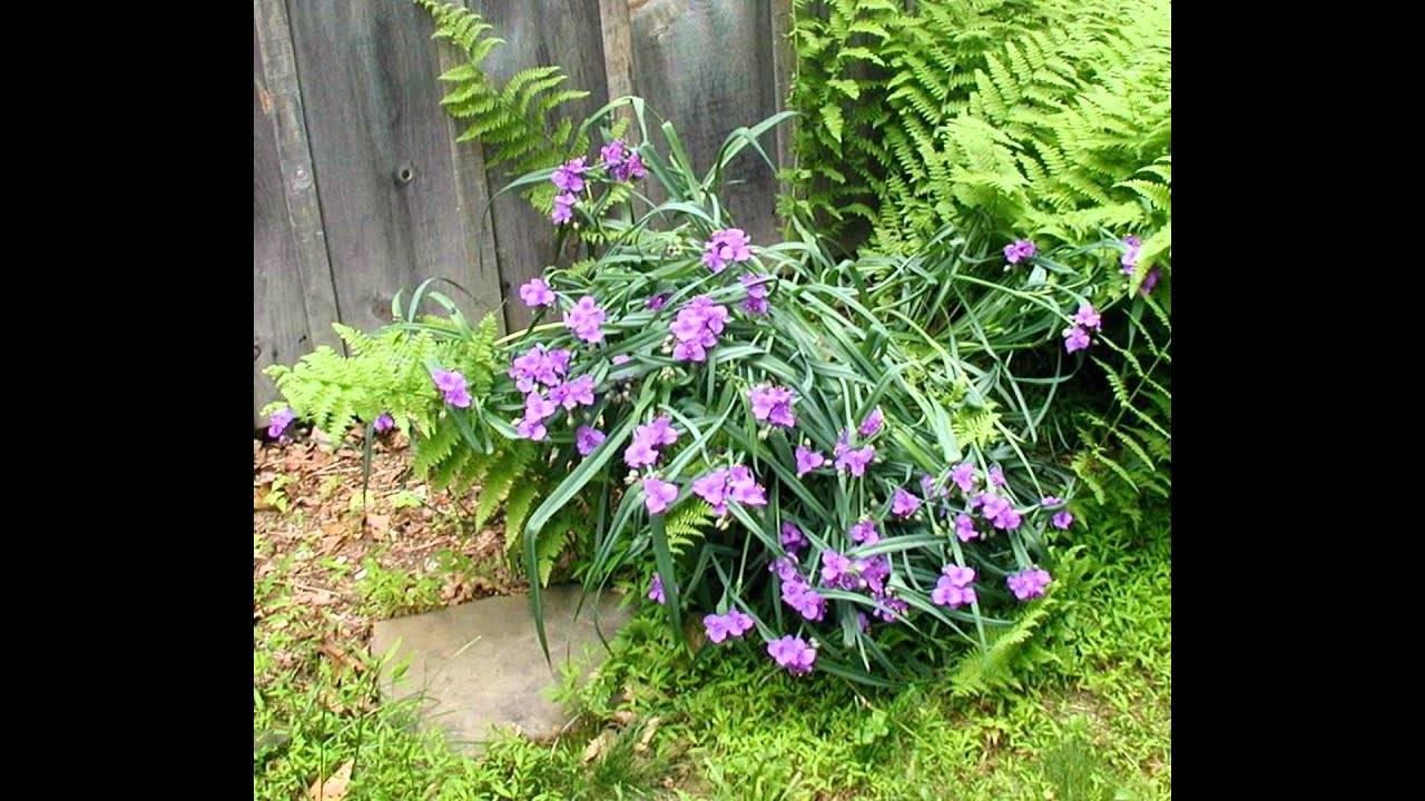 Садовая многолетняя традесканция — посадка и уход за уличными цветами ?