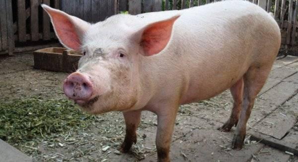 Как откармливать свиней для получения вкусного мяса