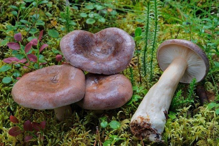 Грибы млечники (lactarius): где растут, виды, фото, калорийность