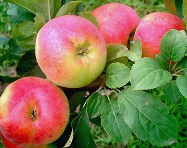Сорт яблони мельба: его сильные и слабые стороны selo.guru — интернет портал о сельском хозяйстве