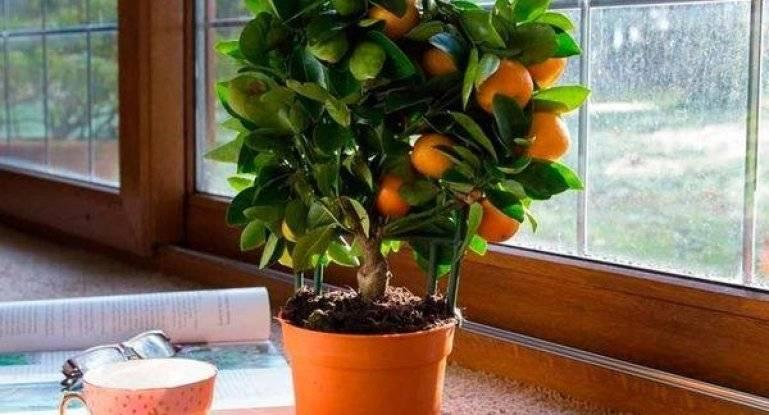 Как вырастить мандарин из косточки в домашних условиях, инструкция по выращиванию дома