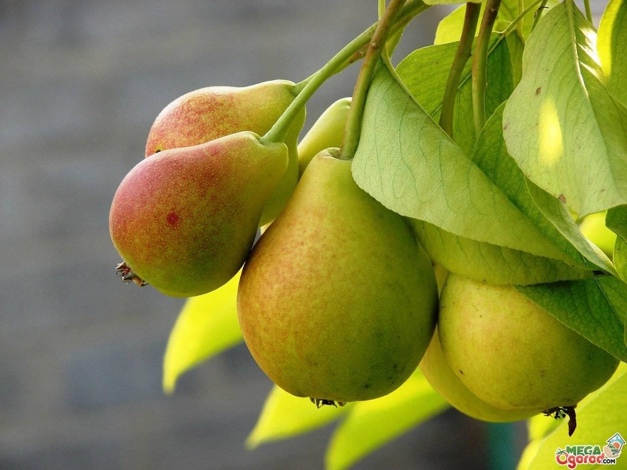 Почему не плодоносит груша: причины, что делать