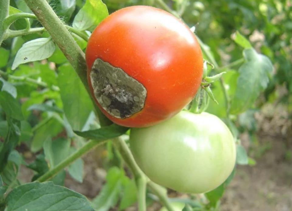 Фитофтора на помидорах - как бороться, в теплице, открытом грунте, фото, эффективные средства