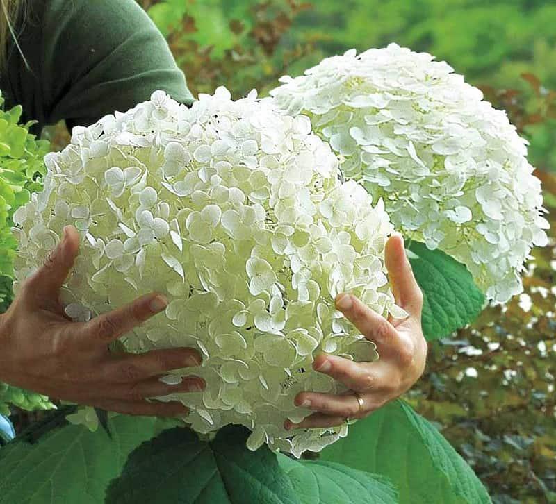 Бульденеж и гортензия – чем отличаются эти растения