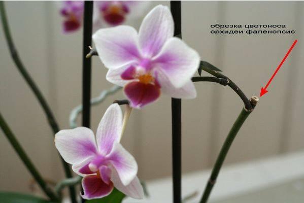 Цветонос у орхидеи: как появляется, почему замер и что делать, как отличить от корня