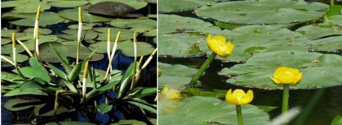 10 лучших водных растений для декоративного пруда