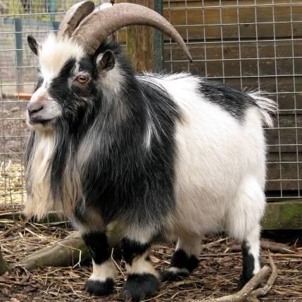Камерунские козы: декоративная порода в домашних условиях