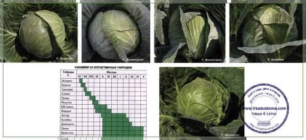 33 лучших сорта капусты: рейтинг ранней, средней и поздней