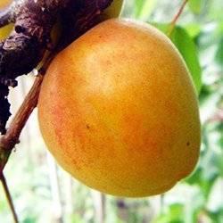 Как опыляется абрикос: особенности, способы, самоплодные сорта