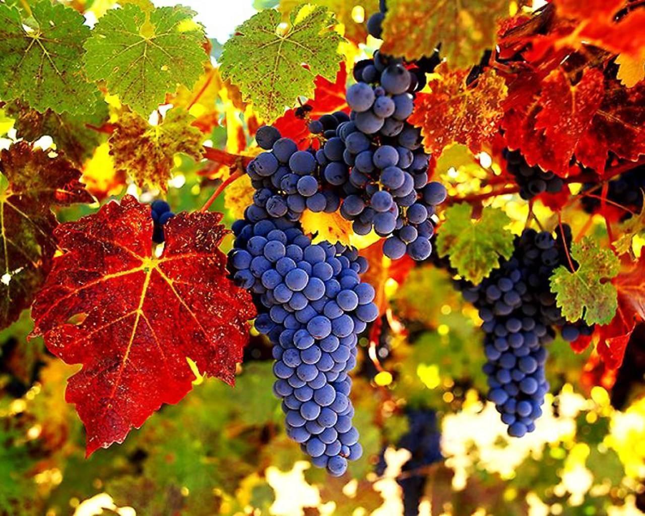 Виноград аметистовый: описание сорта, особенности, фото