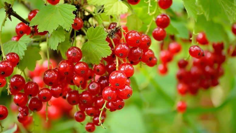 Удобрение и подкормка смородины: советы, способы и особенности
