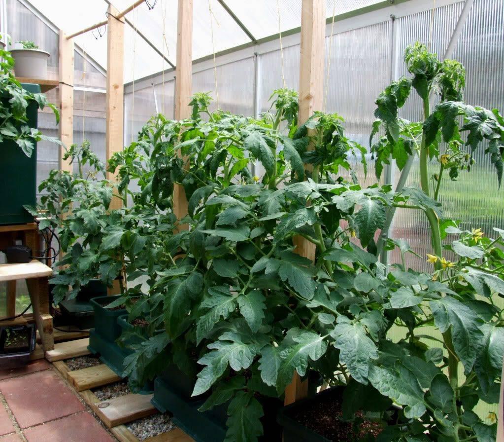 Выращивание томатов в теплице из поликарбоната: как создать правильные условия