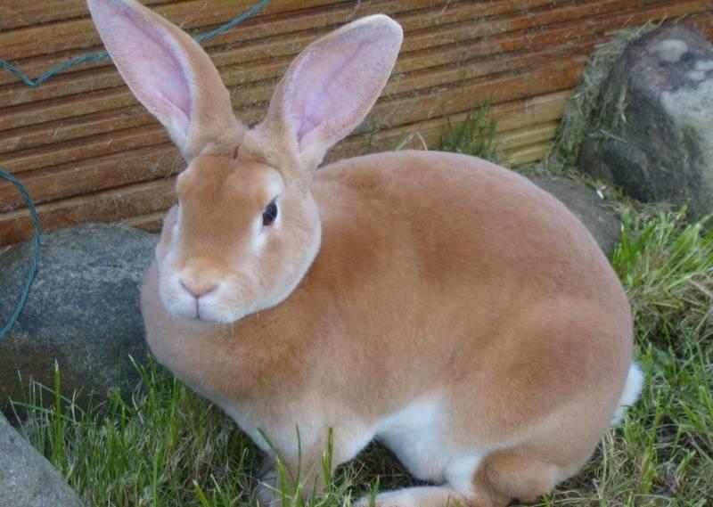 Рыжий кролик описание пород - дневник фермера ferma-lux.ru