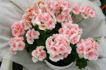 Необыкновенная форма и выраженный аромат – герань ангел. правила выращивания в домашних условиях