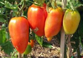 Томат перцевидный гигант: описание сорта, фото, отзывы, урожайность, характеристика