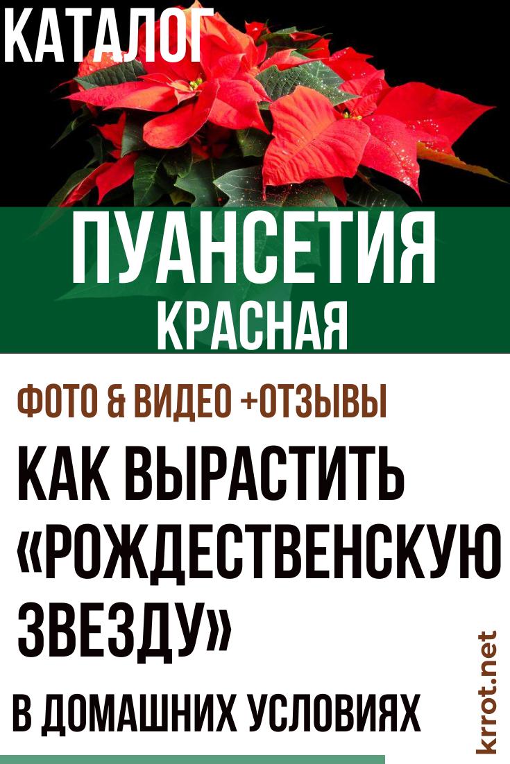 Выращивание пуансетии в домашних условиях: виды цветка, посадка и уход, фото