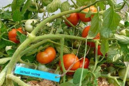 Томат «белый налив 241»: подробное описание сорта. отзывы садоводов