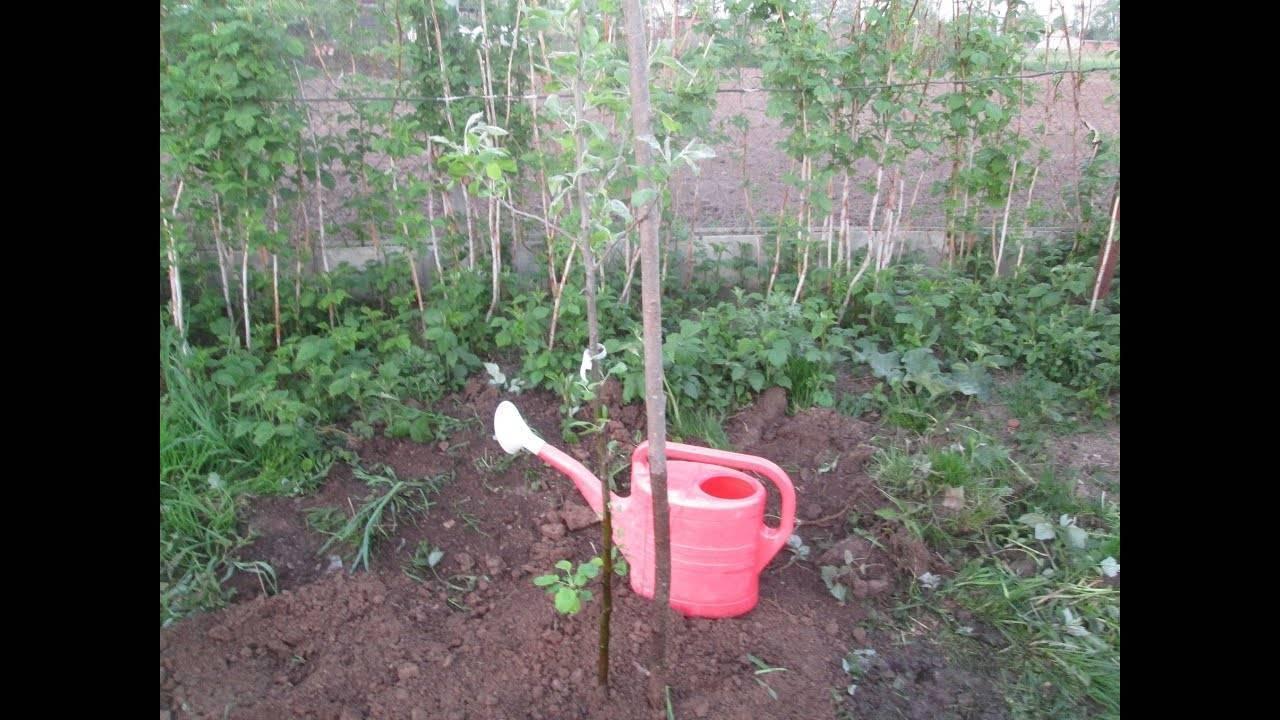 Посадка стелющейся яблони, уход, обрезка весной и осенью