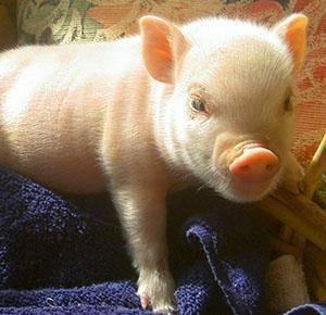 Как кормить свиней правильно: чем лучше и виды откорма, рацион питания