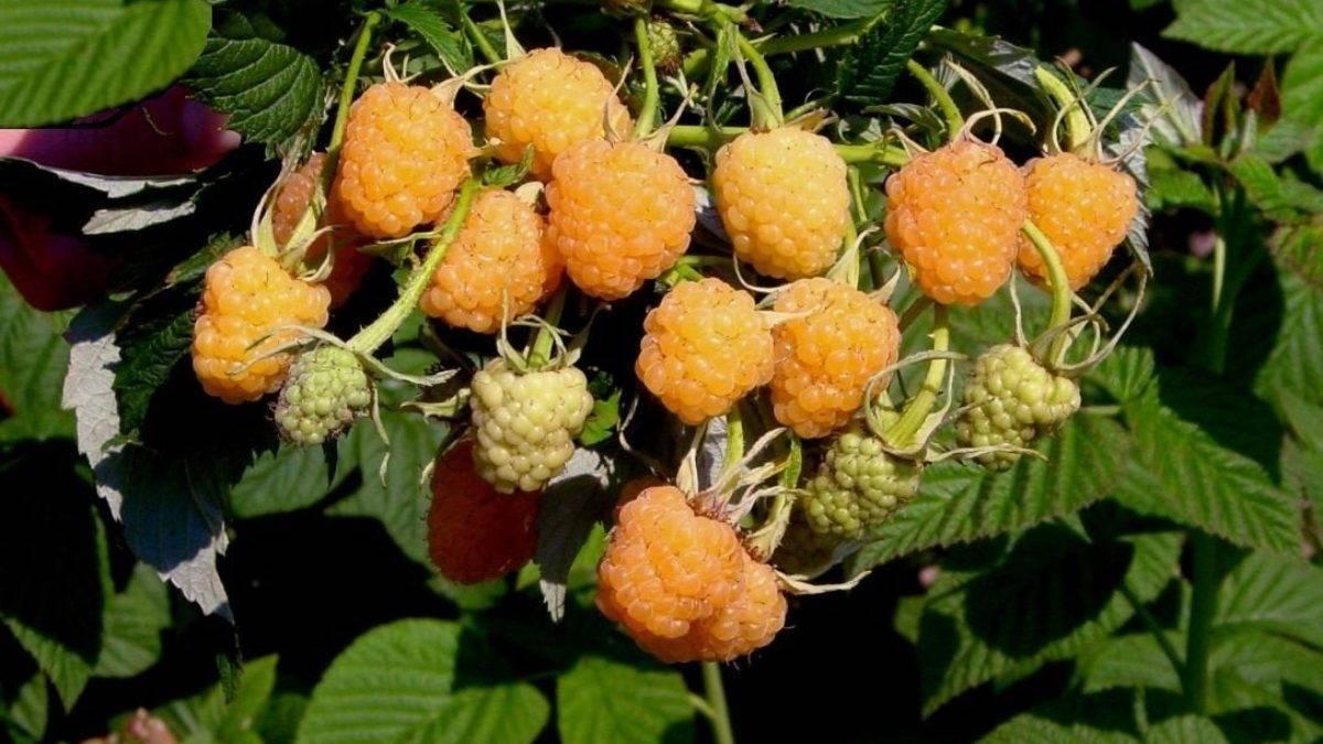 Описание малины сорта киржач, особенности ее выращивания
