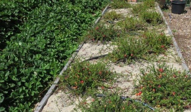 Клюква садовая: посадка и уход, выращивание в открытом грунте и сочетание с другими растениями, фото