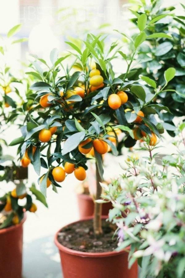 Апельсин — полезные свойства и противопоказания, рецепты. как вырастить апельсин в домашних условиях