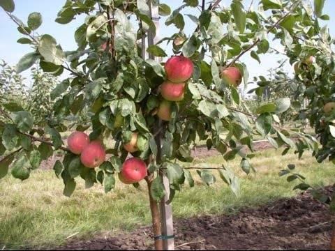 Яблоки айдаред — легендарный сорт из америки