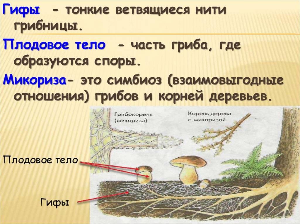 Реферат значение грибов в природе и жизни человека