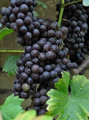 Выращивание винограда Черный жемчуг