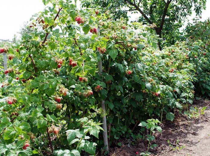 Сорта малины с самыми крупными плодами. описание, отзывы, выбор редакции
