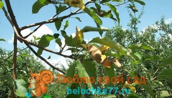 Почему засохла яблоня после цветения, в июле? причины усыхания отдельных веток
