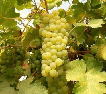 Выращивание винограда в сибири: посадка и уход, советы для начинающих