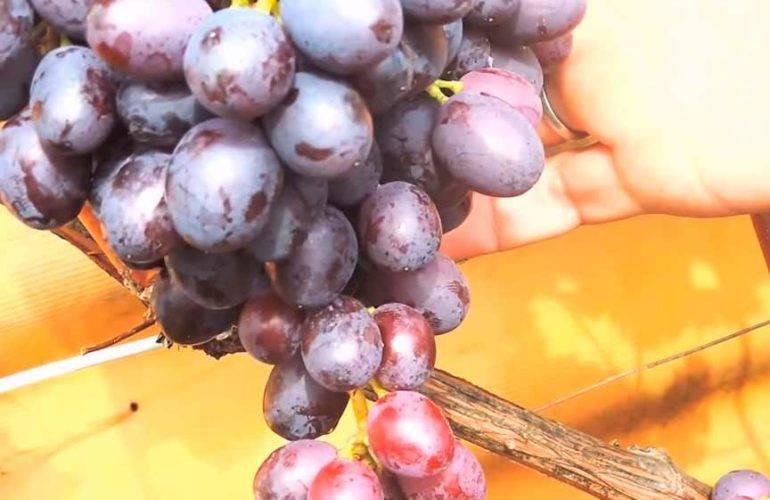 Обзор сорта винограда краса никополя - блог фермера
