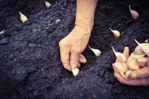 Когда и как правильно сажать чеснок весной в открытый грунт