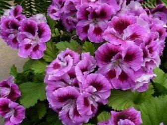 Пеларгония королевская: сорта, посадка и уход