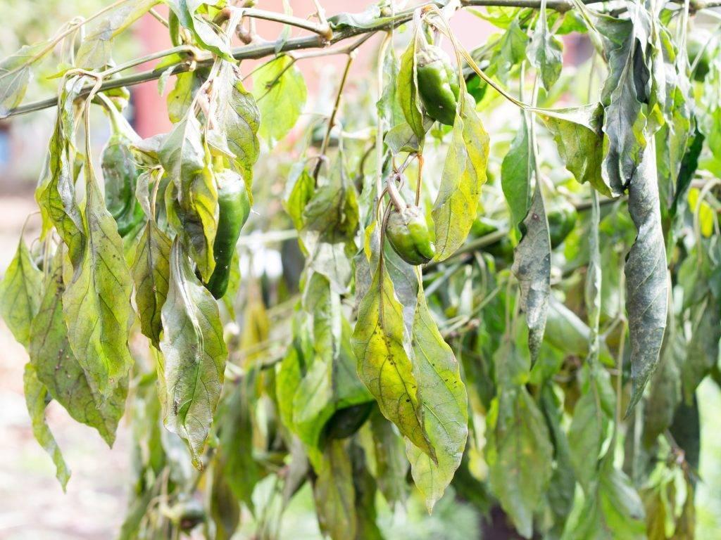 Почему у рассады перца желтеют и опадают нижние листья – сохнут, сеянцы плохо растут, что делать