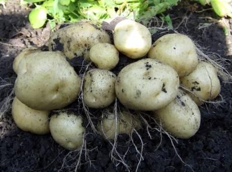 Картофель «ласунок» - описание сорта, отзывы, выращивание и уход
