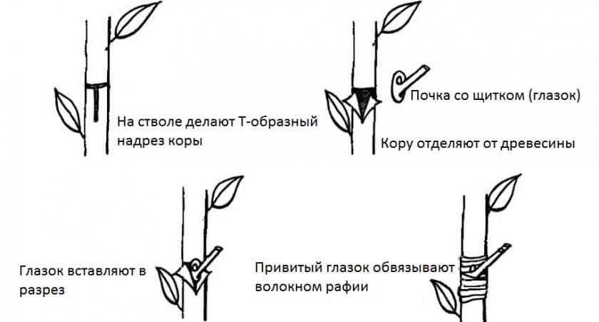 Способы прививки плодовых деревьев, сроки, описание процесса