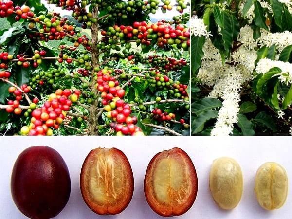 Записки цветовода: кофейное дерево