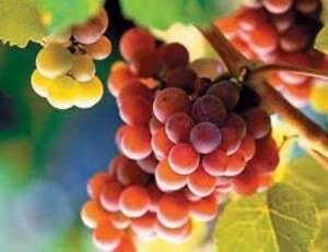 Виноград ранний розовый описание сорта фото отзывы. виноград русский ранний