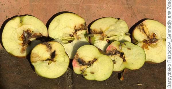 Плодожорка на яблоне: топ методы борьбы, чем обработать?