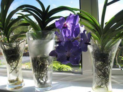 Выращивание орхидеи в воде: особенности, способы и правила