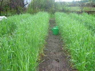 Протравливание семян озимой пшеницы, особенности подготовки к посеву озимой пшеницы — пропозиция