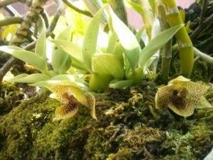 Орхидея аскоцентрум: уход в домашних условиях, пересадка