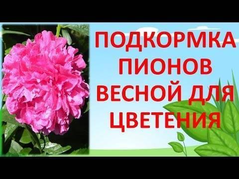Чем подкормить пионы весной для цветения, что они любят