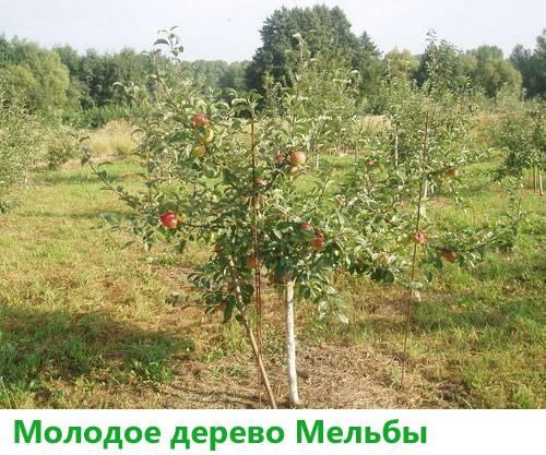Яблоня мельба: описание популярного канадского сорта и особенности выращивания