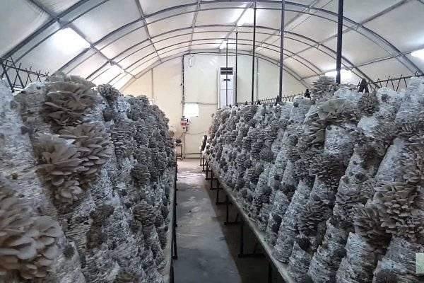Как выращивать грибы в теплице - советы бывалых дачников.